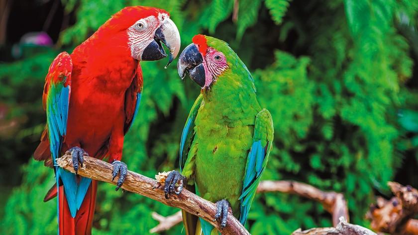 parrots, wild birds